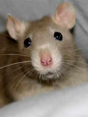 rat whiskers
